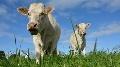 Charolaise - La g�nomique d�sormais accessible pour les femelles comme pour les m�les