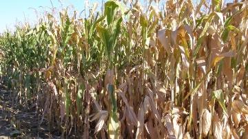 Les canes de maïs constituent des matières premières tout à fait adéquates pour la production de biocarburants de seconde génération.