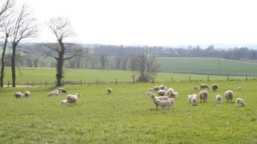 Le déclin de la production ovine se poursuit avec des prix en recul par rapport à 2013