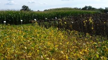 Euralis Semences travaille cinq espèces, le maïs qui représente la moitié de son chiffre d'affaires, le tournesol, le colza, le soja et le sorgho.