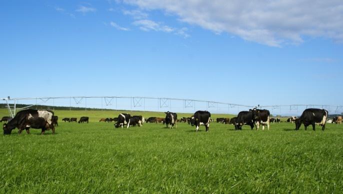 Troupeau de vaches laitières en Nouvelle Zélande.