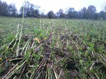 Les couverts d�sormais � terre, l�orge de Denis Laiz� est en d�but de tallage