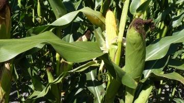 Vigueur de d�part, digestibilit� se d�marquer en grain comme en fourrage