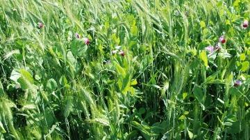 Les m�langes de Cipan ont un int�r�t agronomique