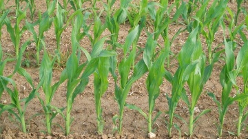 Des march�s en ordre dispers� pour le bl�, le soja et le ma�s