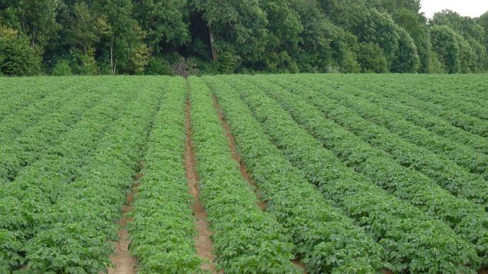 Point sur le march s des pommes de terre - Conserver les pommes de terre ...