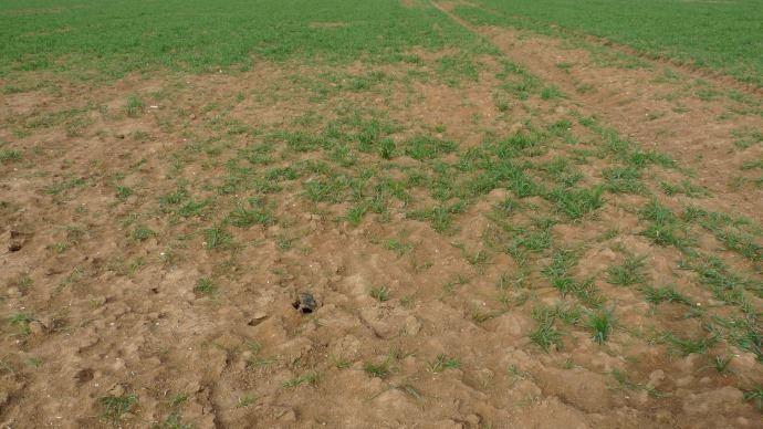 Campagnols des champs: une lutte préventive pour éviter toute pullulation