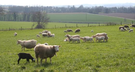 Troupeau d'ovins au pr�