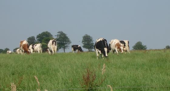 Vaches laiti�res dans un pr�