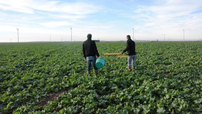Pes�e des colzas - Thomas Bertrand constate davantage de biomasse du c�t� des semis au monograine