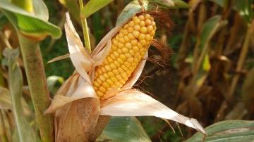 Epi de maïs corné