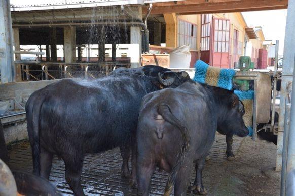 douche brosse à vaches bufflonnes