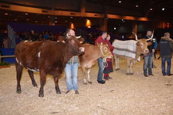 Vaches armoricaine et Froment du Léon