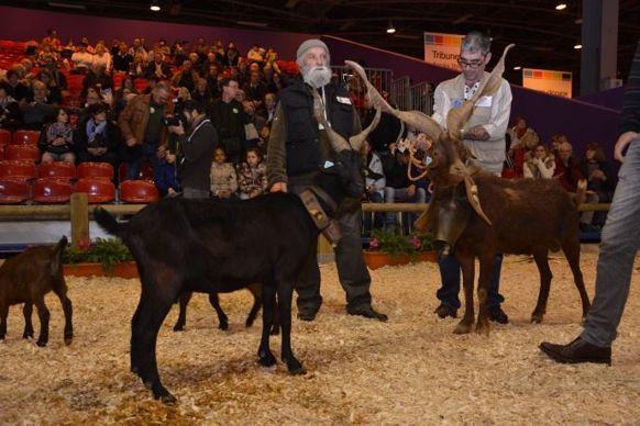 Chèvres du Rove aux cornes torsadées pour le défrichage des garrigues.