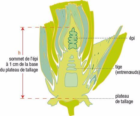 Coupe longitudinale d'une tige de blé tendre