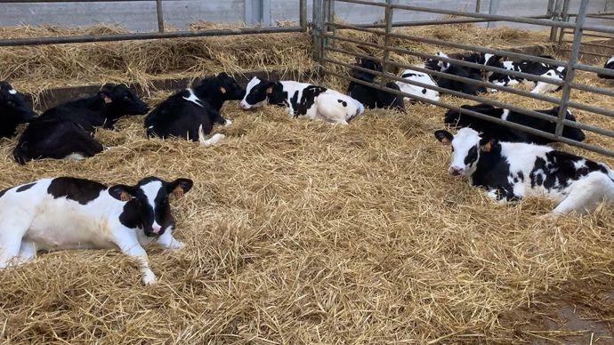 Nurserie veaux laitiers