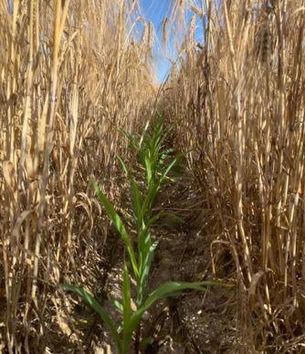 Orge et maïs en relay-cropping, au 23 juin 2020.