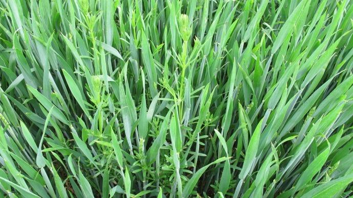 Gaillet dans blé