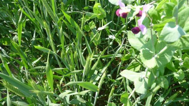 O. Leblanc, Sem-Partners : « Associations avec légumineuses et blé d'éleveur »
