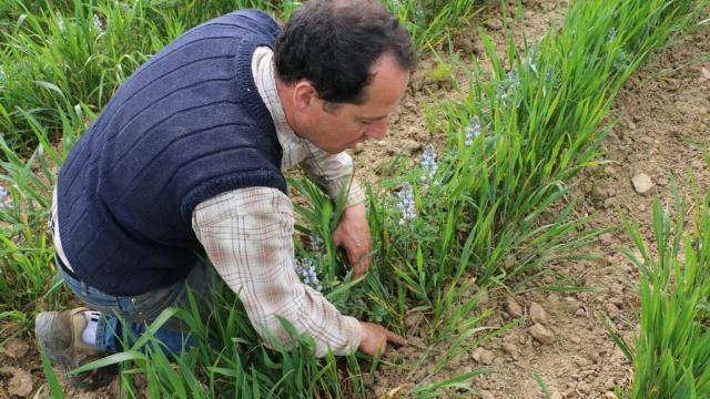 Deux lignes de céréales pour favoriser le développement du lupin