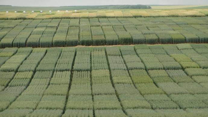 Sélection variétale de blé.