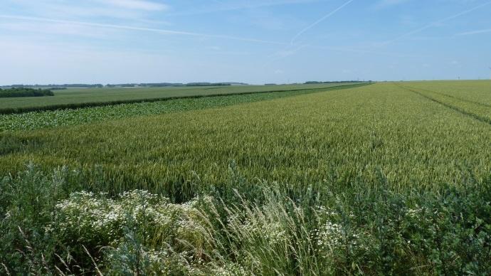 Parcelle de multiplication de semences de blé.