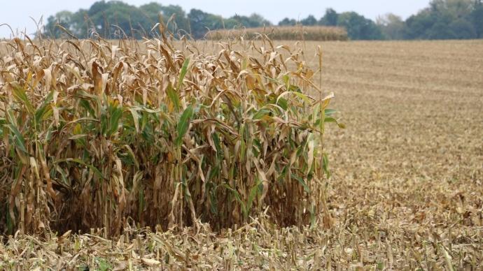 Récolte de maïs.