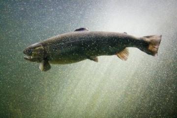Les USA autorisent la commercialisation des saumons transgéniques
