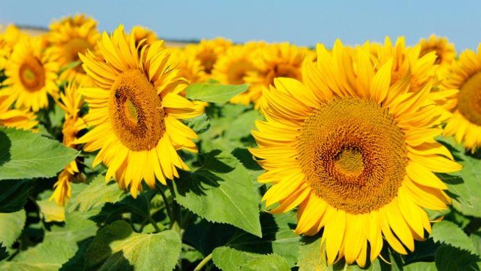 Une parcelle de tournesols en fleur