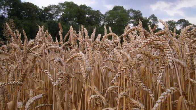 En blé, très forte pression des maladies sur épis