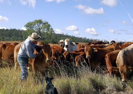 Elevage de bovins viande en australie