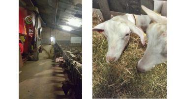 Unemélangeuse en élevage caprin pour valoriser ses fourrages