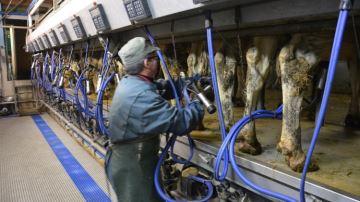 1000¤ de plus pour les éleveurs laitiers et 150¤ par jeune bovin commercialisé