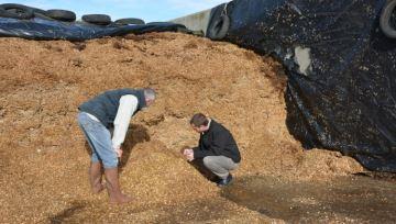 Sous la bâche, la conservation de l'ensilage de maïs évolue dans le temps
