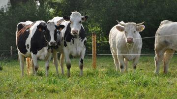 Toutes les modalités pour bénéficier des aides aux bovins laitiers et allaitants