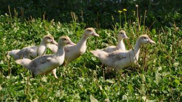 Le canard gras du Sud-Ouest, une filière à terre qui parie sur sa reconstruction