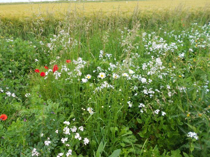 Gargamel pour Gestion agro-écologique des ravageurs de grandes cultures à l'aide de mélanges floraux.