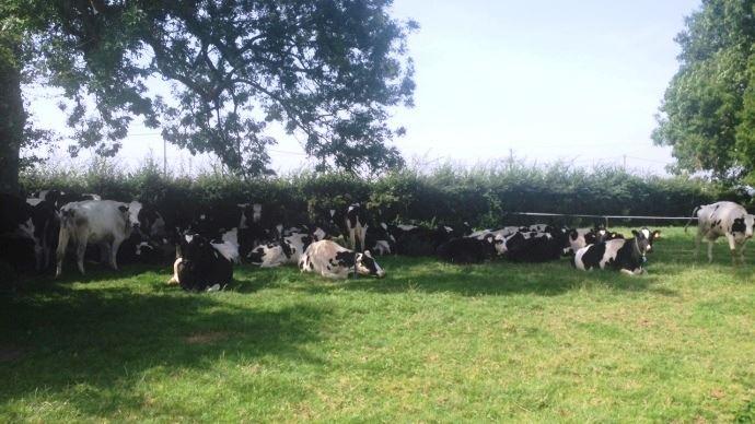 Les vaches laitières ont souffert des fortes chaleurs qui se répercutent sur leur production.