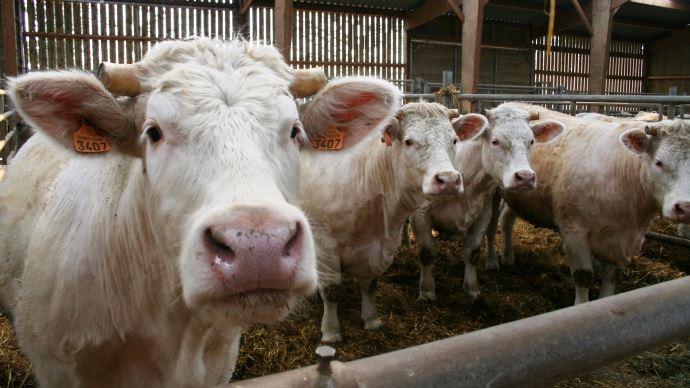 L'abattage à la ferme est interdit en France et est même lourdement sanctionné. Cependant, il permettrait de réduire le stress des animaux lié au transport et aux manipulations à l'abattoir