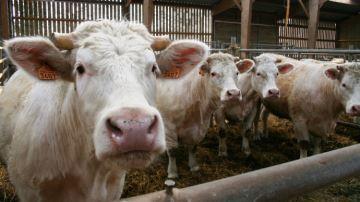 La moitié des éleveurs sont favorables à l'abattage à la ferme comme en Suisse
