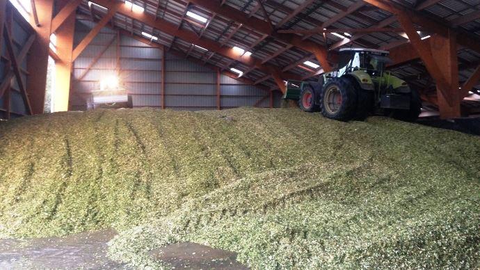 Le tassement du silo de maïs est important pour sa conservation. Certains éleveurs réalisent même leurs silos d'ensilage en bâtiments