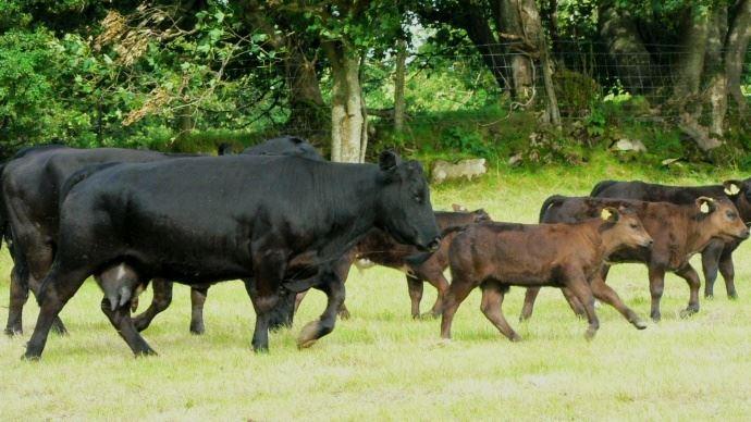 Les pays du Mercosur représentent déjà les trois quarts de toutes les importations de bovins de l'UE avec 246.000 tonnes (équivalent poids-carcasse) chaque année.