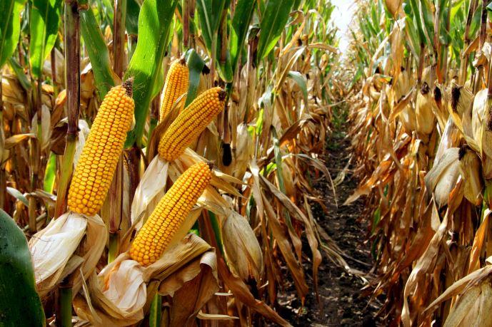 Variétés de maïs Dekalb