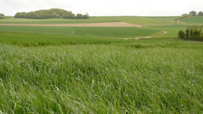 Infestation de ray-grass.
