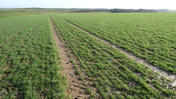 Parcelle de blé en janvier
