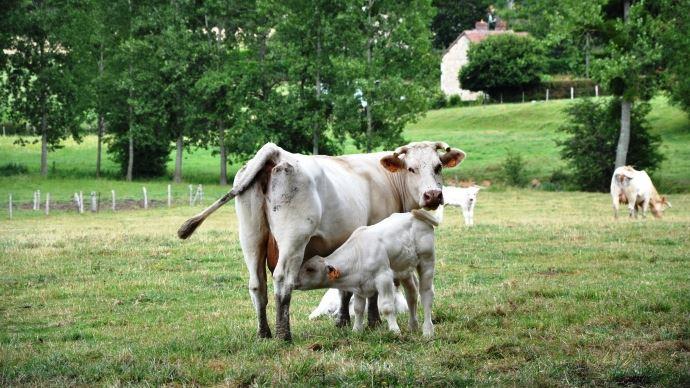 Même en surveillant la tétée du veau allaitant, il est difficile d'estimer la quantité de colostrum qu'il ingère.