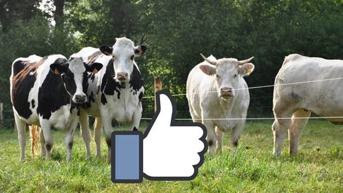 Sur Facebook, les pages des organismes de races enregistrent un nombre de mentions «j'aime» pas forcément proportionnel à l'effectif des animaux sur le territoire.