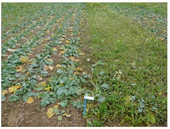 A gauche colza sans adventice; à droite colza pénalisé par  une forte infestation de géranium