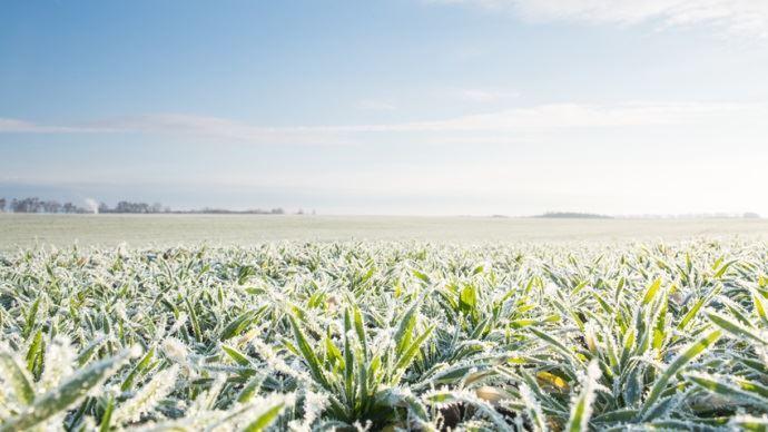 Avec la vague de froid, le blé, le colza et l'orge sont sous surveillance