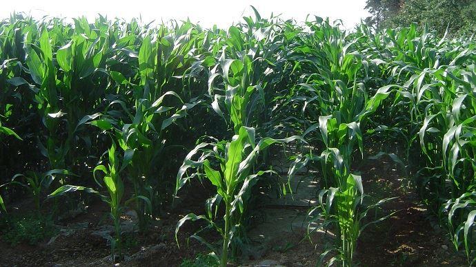 Fertilisation du maïs fourrage par les effluents d'élevage